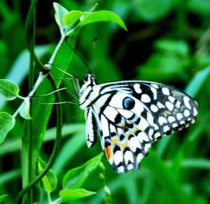 Checkered Swallowtail Butterfly