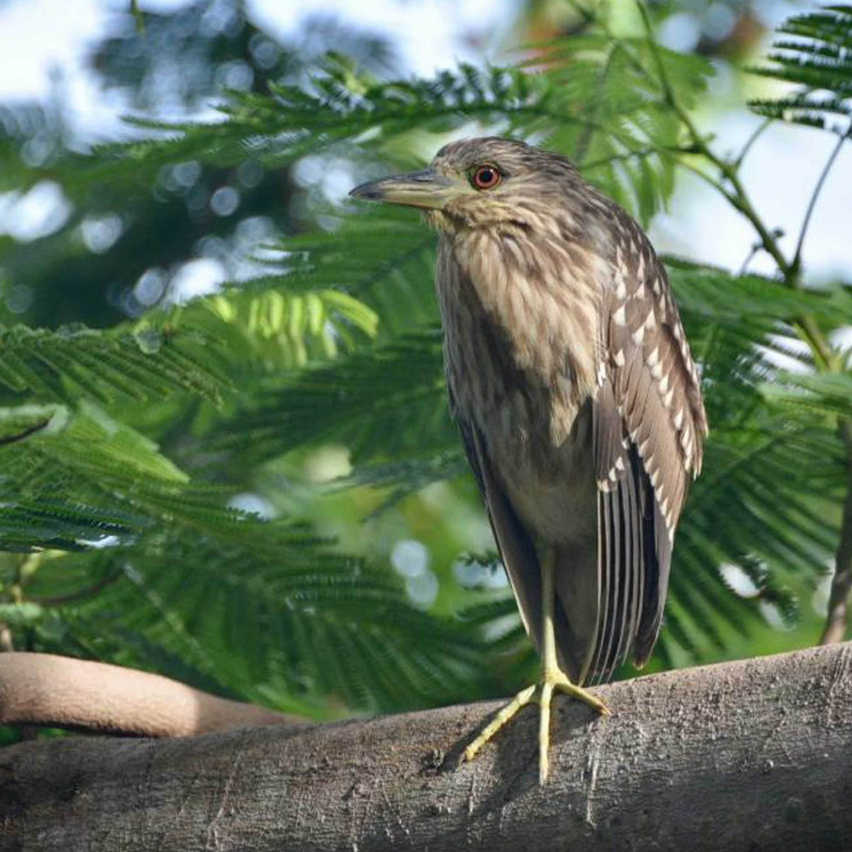 Birds of St Maarten Identification Card